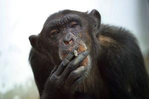 scimmia-fumo